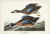 Pl 313 Blue-winged Teal