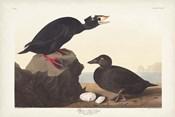 Pl 317 Black or Surf Duck