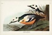 Pl 429 Western Duck