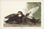 Pl 302 Dusky Duck