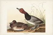 Pl 322 Red-headed Duck