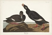 Pl 247 Velvet Duck
