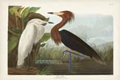 Pl 256 Purple Heron