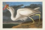 Pl 281 Great White Heron
