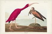 Pl 397 Scarlet Ibis