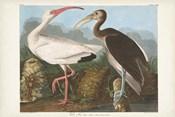 Pl 222 White Ibis
