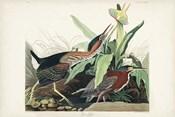Pl 333 Green Heron