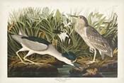 Pl 236 Night Heron