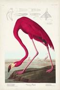 Pl 431 American Flamingo