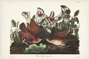 Pl 167 Key West Pigeon