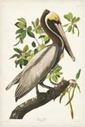 Pl 251 Brown Pelican