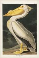 Pl 311 American White Pelican