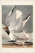 Pl 324 Bonapartian Gull