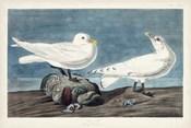 Pl 287 Ivory Gull