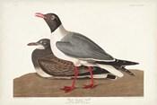 Pl 314 Black-headed Gull