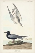 Pl 280 Black Tern