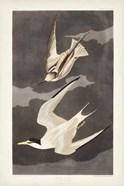 Pl 319 Lesser Tern