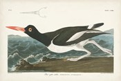 Pl 223 Pied Oyster Catcher