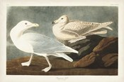 Pl 396 Burgomaster Gull