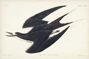 Pl 235 Sooty Tern