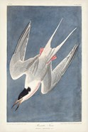 Pl 240 Roseate Tern