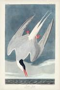 Pl 250 Artic Tern