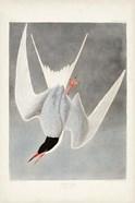 Pl 309 Great Tern