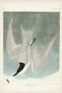 Pl 410 Marsh Tern