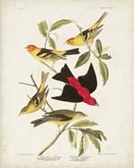 Pl 354 Louisiana Tanager