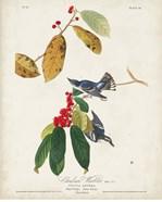 Pl 48 Cerulean Warbler