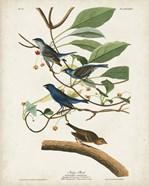 Pl 74 Indigo Bird