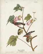 Pl 69 Bay-breasted Warbler