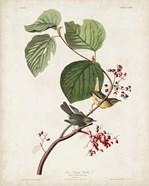 Pl 148 Pine Swamp Warbler