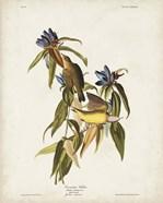 Pl 138 Connecticut Warbler