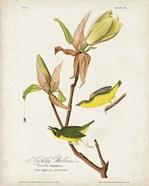 Pl 38 Kentucky Warbler