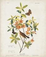 Pl 198 Swainson's Warbler