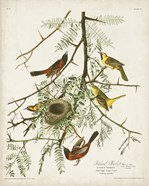 Pl 42 Orchard Oriole