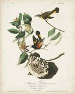 Pl 40 American Redstart