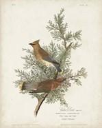 Pl 43 Cedar Bird
