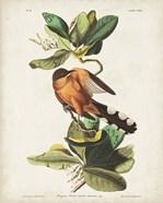Pl 169 Mangrove Cuckoo