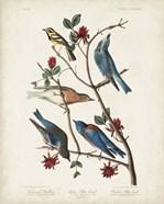 Pl 393 Townsend's Warbler