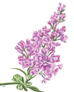 Lilac Flower in Pink