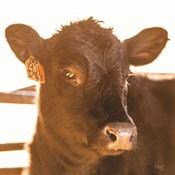Baby Cow I