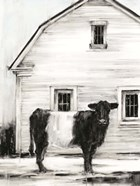 Belted Galloway I