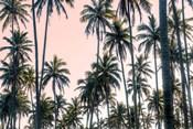 Palms View on Pink Sky II