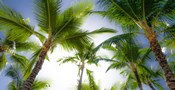 Oahu Palms