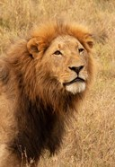 Lion's Intent Stare