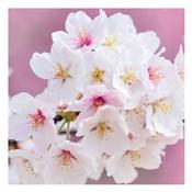 Blossoms Paris 1