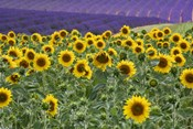 Sunflowers Blooming Near Lavender Fields During Summer