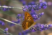 Marbled Butterfly On Valensole